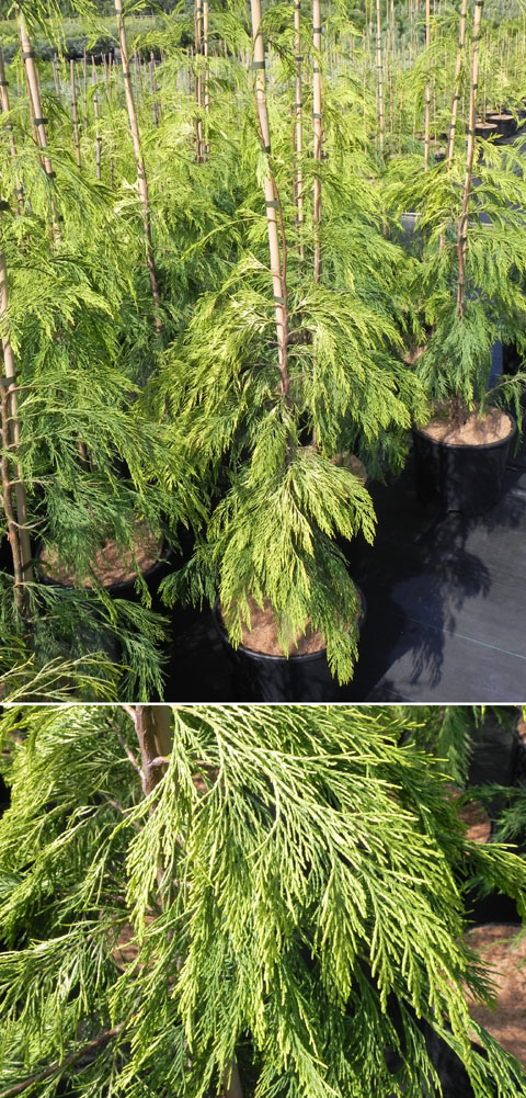 Chamaecyparis lawsoniana 'Filip's Sunsation'